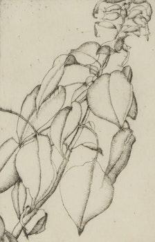 Artwork by Lionel LeMoine FitzGerald, Salvia