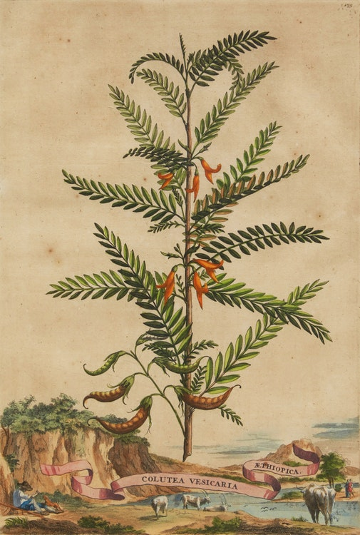 Artwork by Abraham Munting,  Twelve Botanical Prints