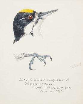 Artwork by Terence Michael  Shortt, Ornithological Studies