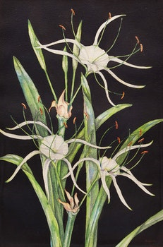 Artwork by Daphne Vaughan, Floral Study