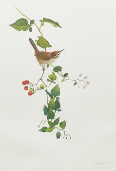 Artwork by James Fenwick Lansdowne, Wren; Warbler