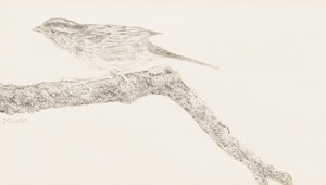 Artwork by George McLean, White Throated Sparrow
