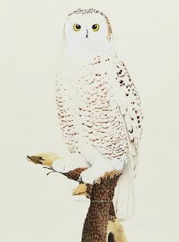 Artwork by Martin Glen Loates, Snowy Owl