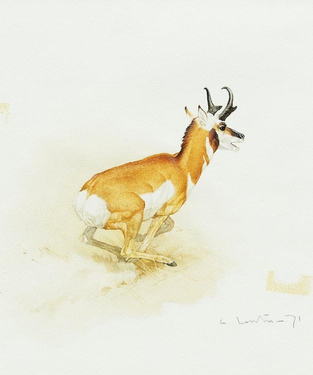 Artwork by Martin Glen Loates,  Antelope