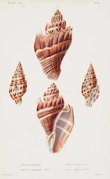 "Artwork by Louis-Charles Kiener, 6 Engravings from ""Species Generale et Iconographie des Coquilles Vivantes, 1834-1879"""