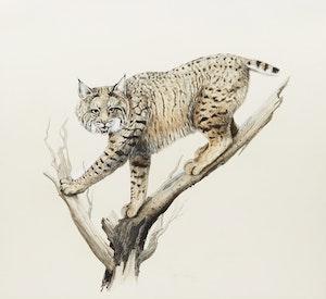 Artwork by Lissa Calvert, Bobcat