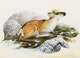 Thumbnail of Artwork by Lissa Calvert,  Caribou Calf