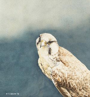 Artwork by Chris E. Bacon, Prairie Falcon